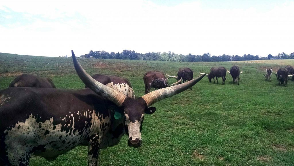 Watusi in field
